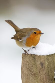 Robin - on post in snow - Winter