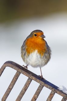 Robin - in snow on garden fork