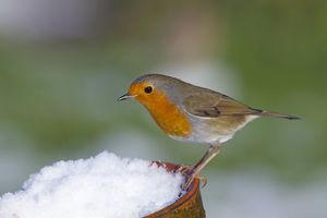 Robin - in snow on pot