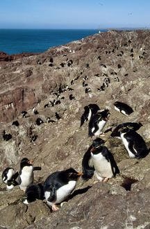 Rockhopper Penguin - colony on rocks by the sea
