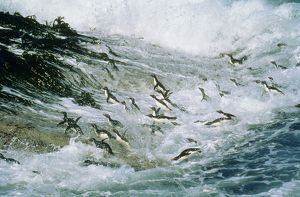 Rockhopper PENGUINS - group jumping through sea and landing on Falkland Islands.