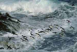 Rockhopper Penguins - surfing into shore