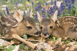 ROE DEER - two young