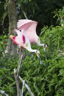 Roseate Spoonbill - pair at rookery