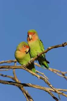 Rosy faced Lovebird - pair preening each other on a favourite perch
