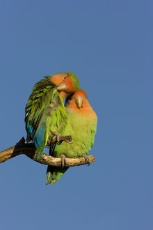 Rosy faced Lovebird - portrait of pair