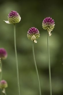 Round-headed leek