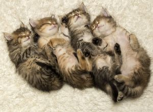 row of four sleeping Siberian kittens looking cute together