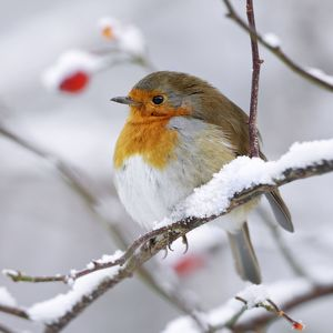 ROY-505 European Robin - In winter with snow
