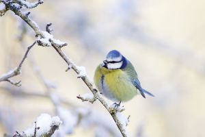 ROY-509 Blue Tit - Feathers puffed up to conserve heat in below freezing conditions