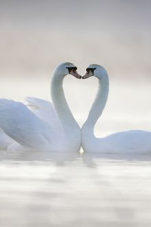 ROY-517-M Mute Swans - Pair in courtship behaviour, necks creating heart shape