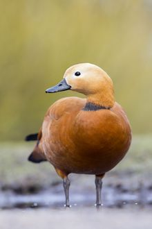 Ruddy Shelduck - drake in winter