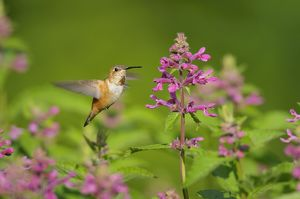 Rufous Hummingbird - in flight feeding on Cooley's Hedge Nettle flower