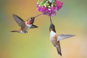 Rufous Hummingbird - two males feeding at flower