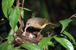 Rufous Shrike-thrush - adult at nest with young