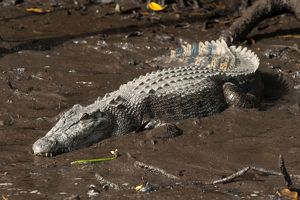 Saltwater Crocodile - resting on muddy bank - world's larges