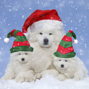 Samoyed dogs nd puppies wearing Christmas and Elf hats