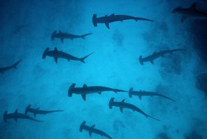 Scalloped Hammerhead Sharks - These sharks congregate around offshore reefs during daytime