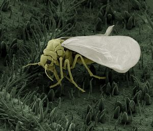Scanning Electron Micrograph (SEM): Whitefly