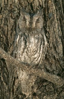 scops owl perfectly camouflaged perching close