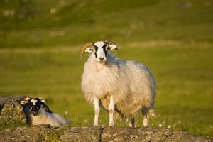 Scottish black-faced ewe and lamb