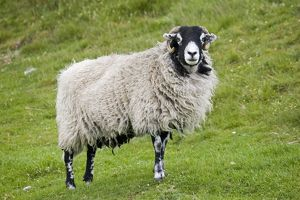 Scottish black-faced sheep - ewe