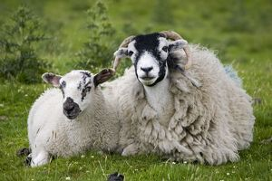 Scottish black-faced sheep - ewe with lamb