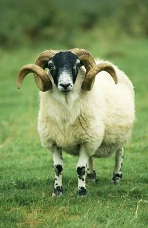 Scottish Blackface SHEEP - ram, standing, front view