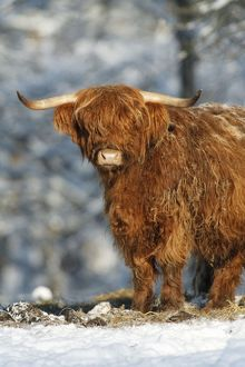 Scottish Highland Bull - in snow