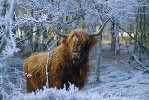 Scottish Highland Cow - in frost