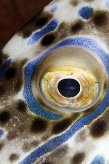 Scraweled Filefish - eye