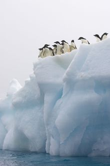 SE-468 Adelie Penguin - On iceberg