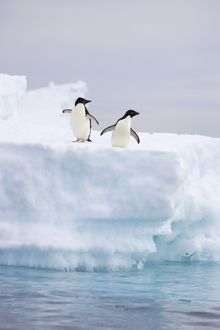 SE-470 Adelie Penguin - On iceberg