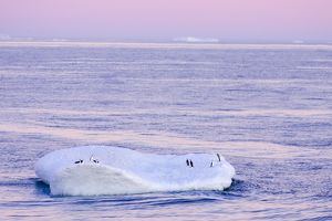 SE-477 Chinstrap Penguin - On iceberg at Sunset
