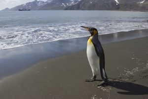 SE-496 King Penguin - Heading out to sea