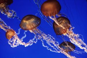 Sea Nettle JELLYFISH - group