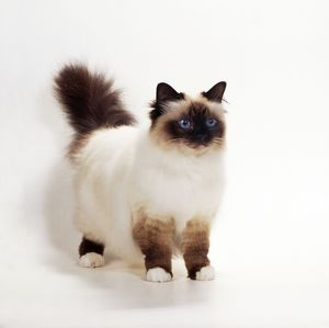 Seal Birman Cat