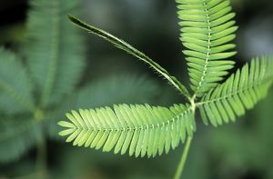 Sensitive Plant / Sleeping Grass - close-up