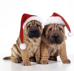 Shar Pei Dog - 2 puppies wearing Christmas hats