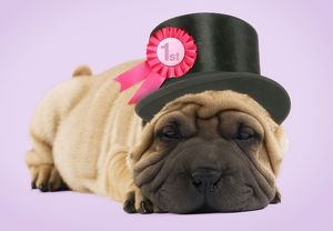 Shar-pei Dog - in top hat with rosette
