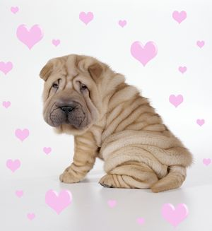 Shar Pei Dog - Puppy sitting down, with hearts