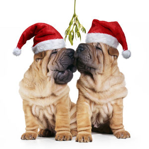 new images april 2019/shar pei dogs pair wearing christmas hats kissing