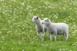 Sheep - two baby lambs in flower meadow