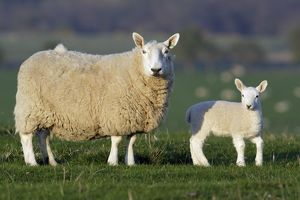 Sheep, Border Leicester - ewe with lamb on meadow