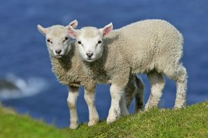 Sheep - two cute lambs standing on cliff edge looking into camera