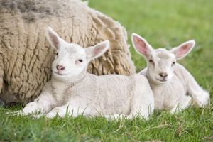 Sheep - Ewe with two lambs