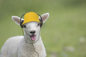 latest images march 2017/sheep lamb smiling happy mouth open wearing hat