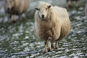 Sheep - mixture of Suffolk and Welch mountain breeds on snowy hillside