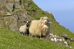 Sheep - mother and young standing in front of cliffs looking into the camera