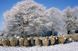 Sheep - in snow